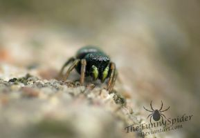 Heliophanus cupreus - Adult Female by TheFunnySpider