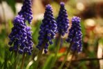 Blue Bell Flowers by ohhmanitsmissy