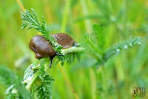 Brown Slug par Allison Christine Martines by FROG-and-TOAD