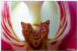 Inside of an Orchide by MKlver