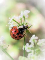 Ladybug by iriscup