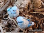 Blue Parrotlet Pair by The-Wandering-Bird