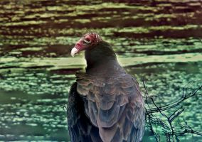 Vulture on Watch by Maggiesdaisy