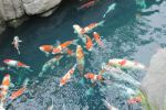 Koi Fishes by Baneling77