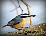 Red-breasted Nuthatch by JocelyneR