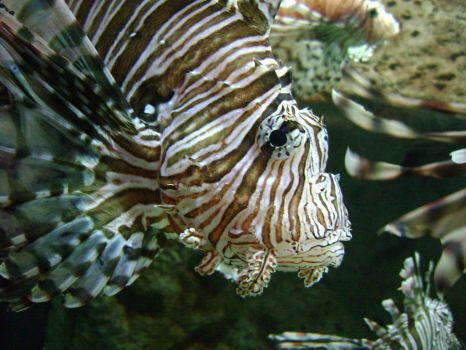 The Red Lionfish by laura-worldwide