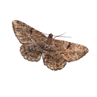 Moth png by Adagem
