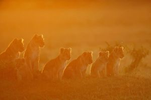 Lion cubs welcoming the sunrise by serhatdemiroglu