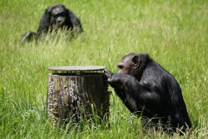 G-ZOO CHIMPANZEE by CHRISwillar