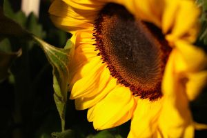 Sunflower II by MadeleineAlana