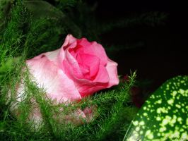 Rose pure by linde-mona