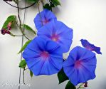 Morning glory flower 3 by a6-k