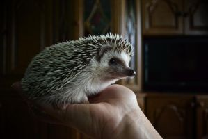 hedgehog in the hands by SuzakuPL
