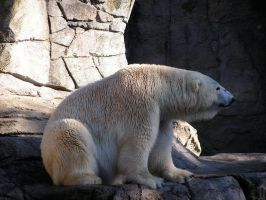 Polar Bear 03 by svend-stock
