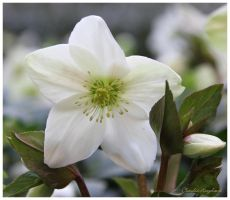 white Flower by Claudia008