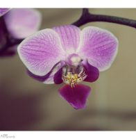 orchid by NikkiVanity
