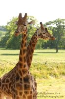 Giraffe Duo by Shadow-and-Flame-86
