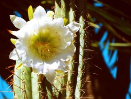 cactus flora by hummingbbird