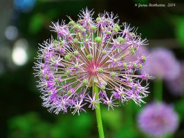 Allium Beauty - Virginia State Arboretum by jim88bro