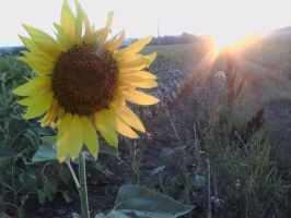 Sunflower by Khay88