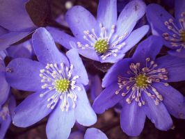 hepatica by A-Pie