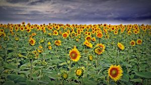 sunflowers by a-b-n