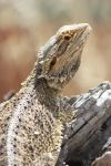 Bearded Dragon by Blind-Mag95