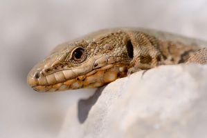 Reptile by vincentfavre