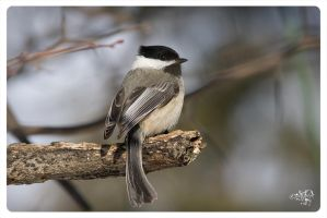 Flexitail Chickadee by AmirNasher