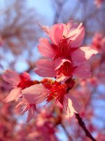 Pink Flowers 1 by bean-stock