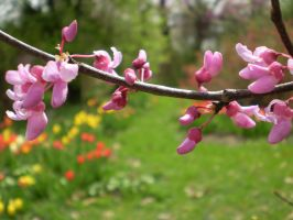 red bud by WEYAH