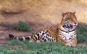Resting Jaguar by Ngatuny