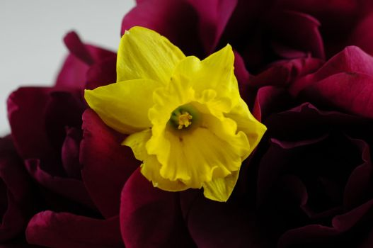Daffodil Macro by PublicDomainStock