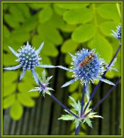 Echinops and hoverfly by bandsix