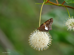 Buttonbush and Silver Spotted by Mogrianne