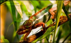Panther Chameleon by aheria