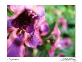 Angelonia by DistantVisions