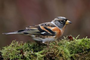Just call me Joseph - Brambling by Jamie-MacArthur