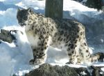 Snow Leopard Stock 14 by HOTNStock