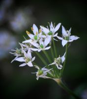 Galic 'Chives blooms by Tailgun2009