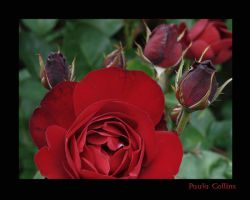 Roses are ..... by PaulaMCollins