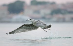 Gull by corsuse