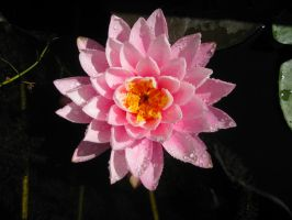 Pink Waterlily by Cynnalia-Stock
