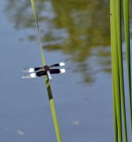 Dragonfly2 by harperking
