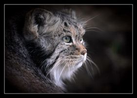 About Cat Manul by Lilia73
