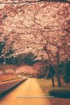 SAKURA street by WindyLife