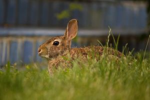 Eastern Cottontail July - 2014 - 2 - 2 by toshema