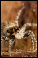 Jumping Spider 2 by nithilien