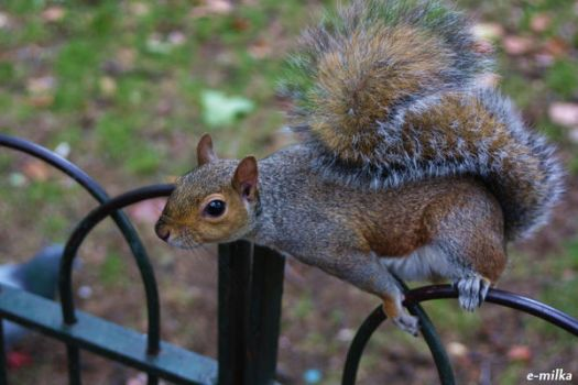 Curious squirrel by FloraDelaney