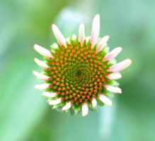 Baby Coneflower by rhyman77
